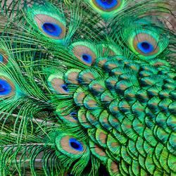 Kleurenpallet van de Pauw