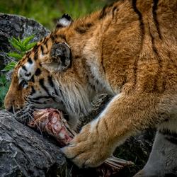 Siberische tijger ...