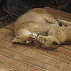 Kussende leeuwen