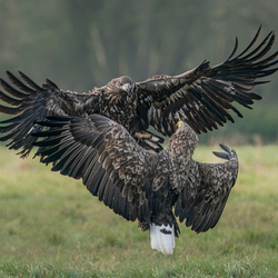 Eagle Fight.
