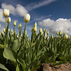 Witte tulpen ...