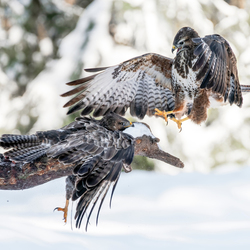 Battle in the snow.