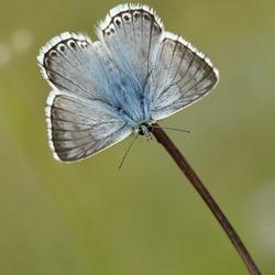 Bleekblauwtje - Viroinval