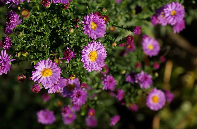 Paarse bloemetjes - DSC07455a.jpg