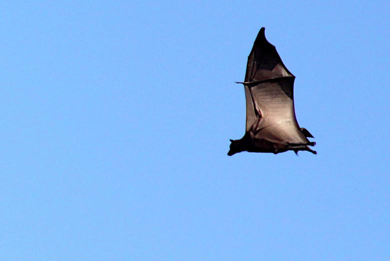 Flying fox - Een zogenaamde Flying Fox, bij Flores, Indonesië.