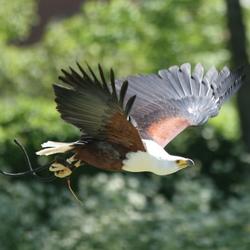 Roofvogeldag in Den Ham