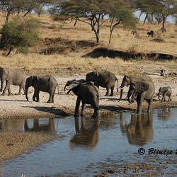 Olifanten Tarangire rivier Tanzania
