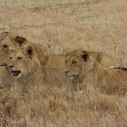 Leeuwin en haar jongen
