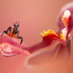 Orchideeën bidsprinkhaantje