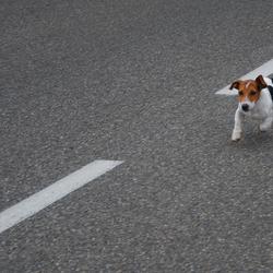 hondje op de loop