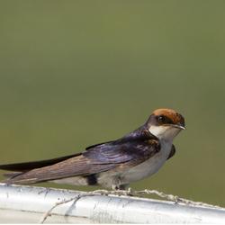 Wire tailed Swallow Botswana