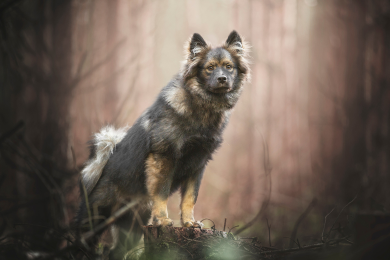 GHIBLI - Finse lappenhond, 6 maanden
