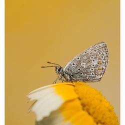 icarusblauwtje  (Polyommatus icarus)
