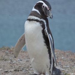 Argentijnse pinguin