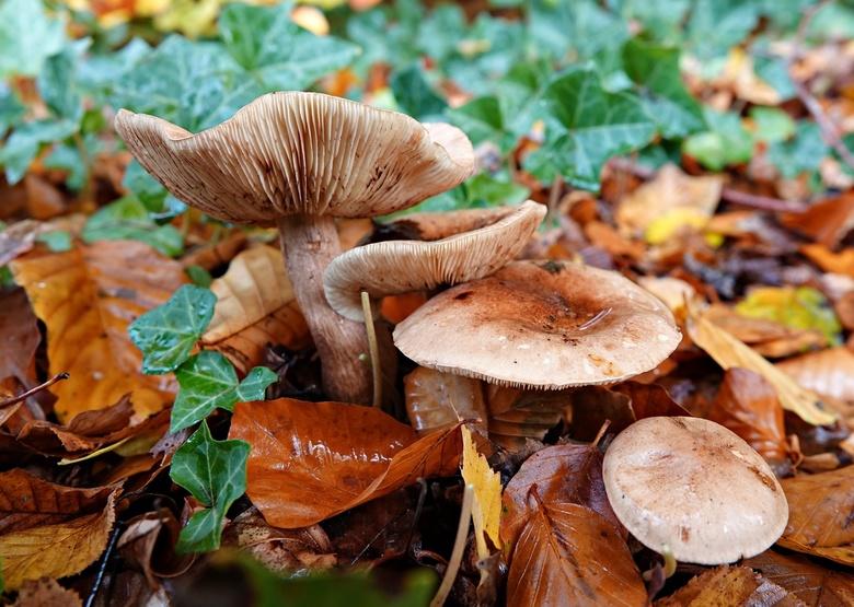 Herftimpressie - De ze paddenstoelen heb ik gefotografeerd onder berkenbomen
