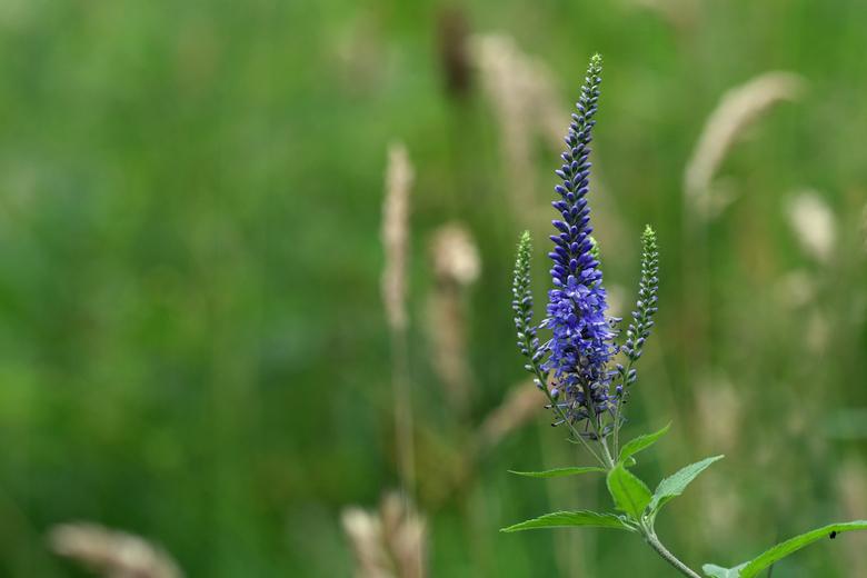blauw - De lange ereprijs is een (vrij) zeldzame plant op natte matig voedselrijke gronden. De bloei is meestal blauw, maar wit komt óók voor.<br />