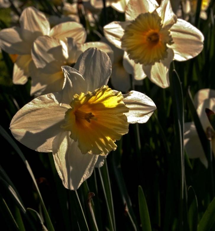 Het is voorjaar - Overal bloeien de narcissen, een lust voor het oog en de fotograaf maar dan moet je bijna plat op je buik gaan liggen om een goede c
