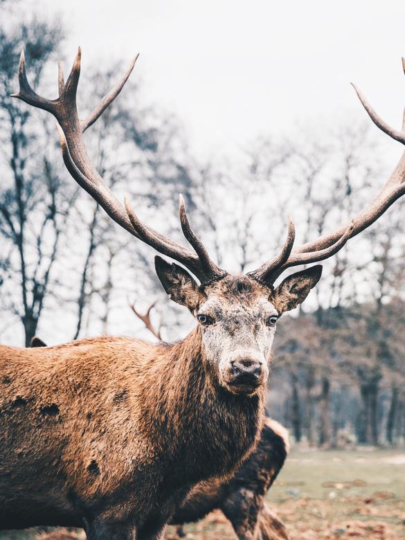Deer... - Oog in oog met dit prachtig hert in het (wild)natuurpark Eifel in Duitsland.<br /> <br /> Volg me gerust op:<br /> https://www.facebook.c