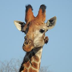 Girafe met ossenpikkers