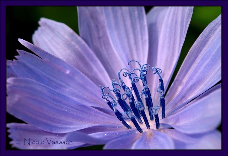 Wilde cichorei - Deze paarse bloem stond in de berm langs het park. Weet niet wat voor soort het is, maar vond de meeldraden wel erg mooi. Net vlinder