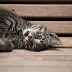 Kitten Jip