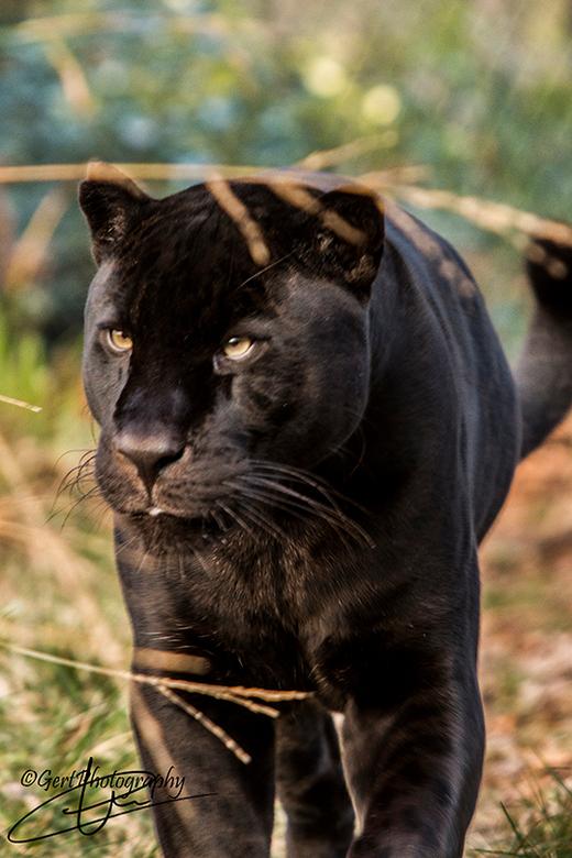 Zwart gevlekte jaguar - Dierentuin Emmen.