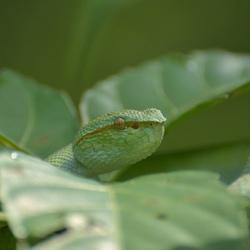 Bijna onzichtbare groene gifadder - Borneo Bako NP