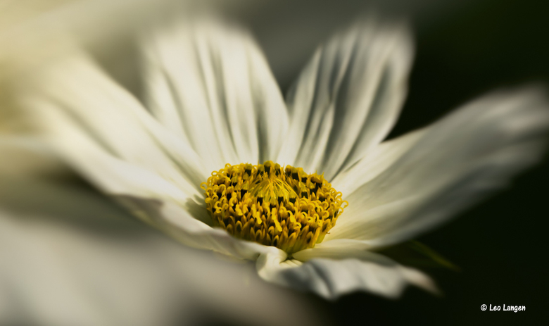 Cosmea - Cosmea een mooie zomerbloeier.<br /> Iedereen bedankt voor de mooie reacties op de vorige foto.<br /> Groetjes Leo