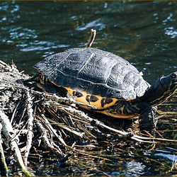 Turtle in the ditch