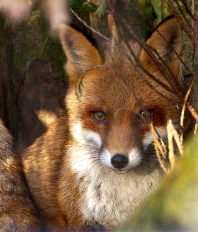 """De Vos - Mijn eerst """"geschoten"""" wilde vos. Alweer even geleden maar nog steeds blij met de compositie maar zeker ook met de eigenwijze takjes die bij"""