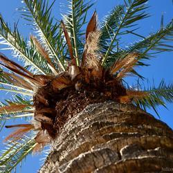 'Palmboom'
