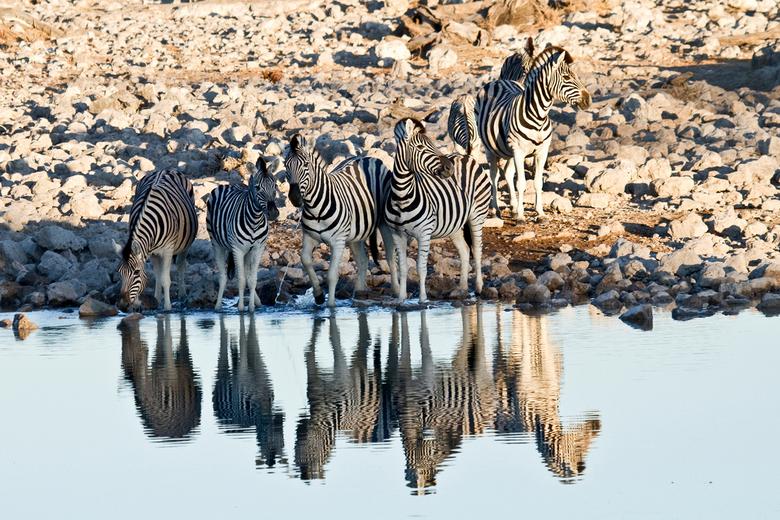 zebra reflection - zeer vroeg in de ochtend kwamen deze zebra's hun dorst lessen aan een waterhole in etosha namibië. Ik vond de reflectie in het