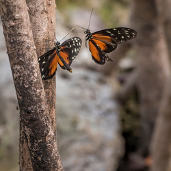 Butterflys with passion