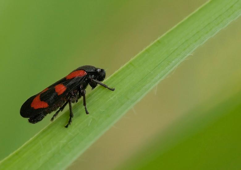 Bloedcicade (Cercopis vulnerata) - Deze cicade dankt de naam aan de zwarte basiskleur en enkele (meestal zes) grote, bloedrode vlekken op de dekschild