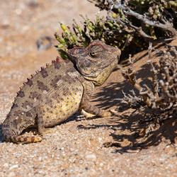 Namaqua kameleon (Chamaeleo namaquensis)