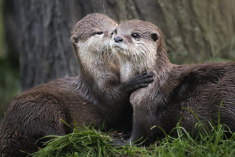 Twee lieve otters - Deze twee otters in de AquaZoo waren zo lief met elkaar aan het spelen en elkaar aan het verzorgen. Dat moest ik wel even vastlegg