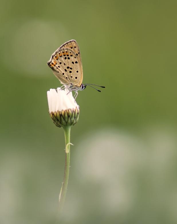 In a world of daisies - Bruine vuurvlinder in een veld met margrieten. Dank voor jullie reactie's op 'Pantser'. Groet Arjo.