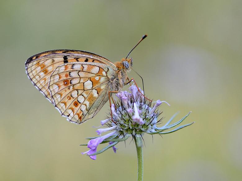 Duinparelmoervlinder - Niet alleen in het duingebied, maar ook in het hooggebergte komt de Duinparelmoervlinder voor.