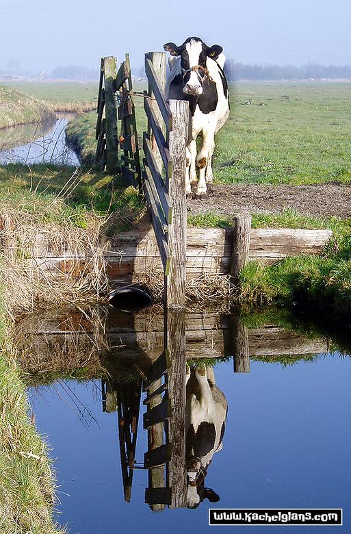 Spiegelkoe - Een koe of twee in Halfweg.