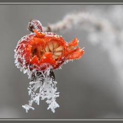 rozenbottel met rijp