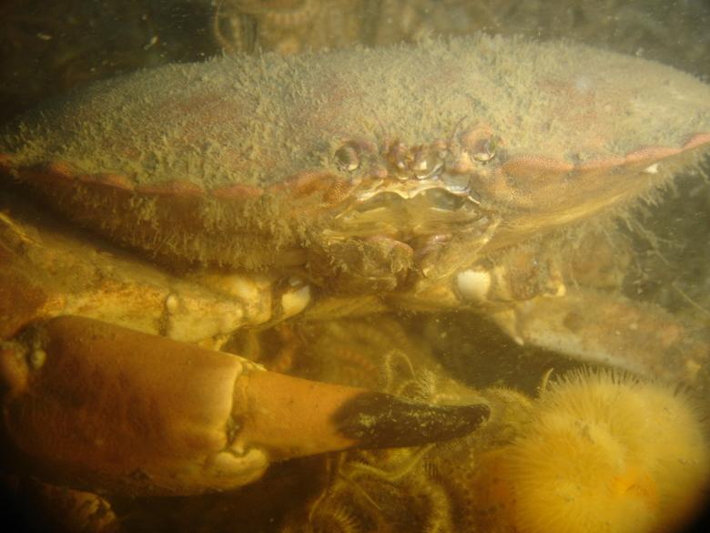 noordzee crab - diverse onderwaterfoto&#039;s<br />