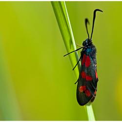 St. Jans vlinder.......