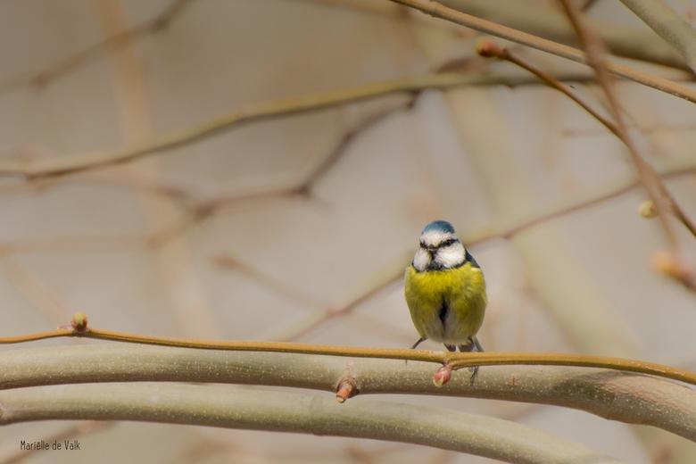 Pimpelmeesje - Tja, en dan ga je ineens vogeltjes fotograferen.... Ik heb een stadstuin van nog geen 30m2 maar daar omheen staan wat bomen. En wat een