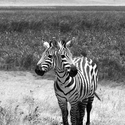 Black & White double headed Zebra