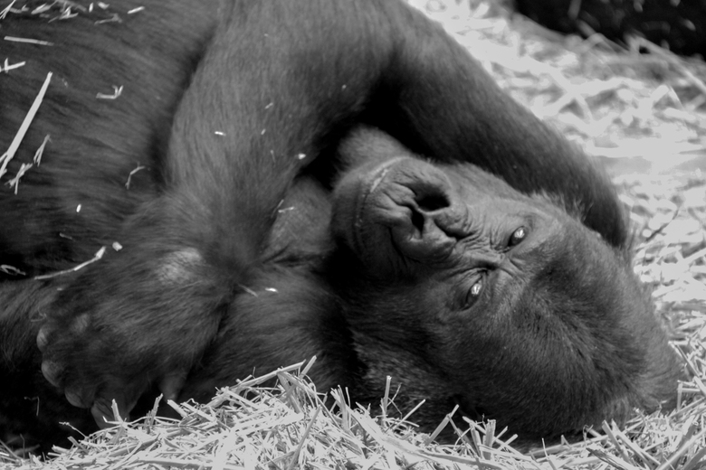 gorilla in artis -