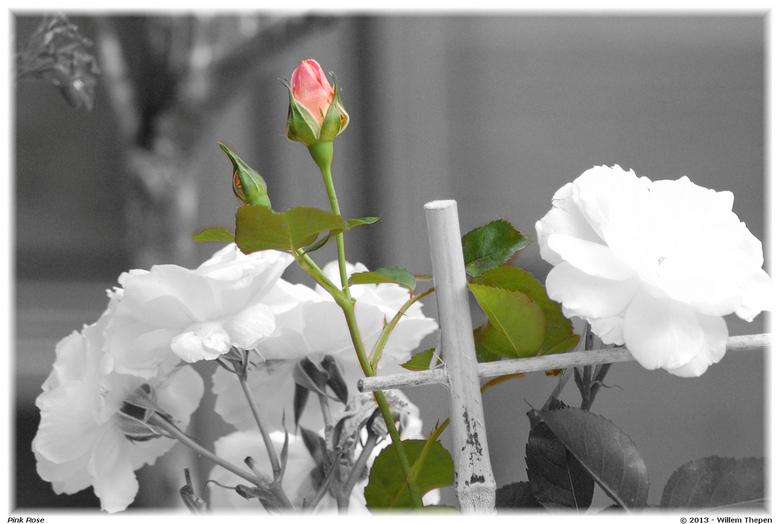 Pink Rose.jpg - Pink Rose.jpg