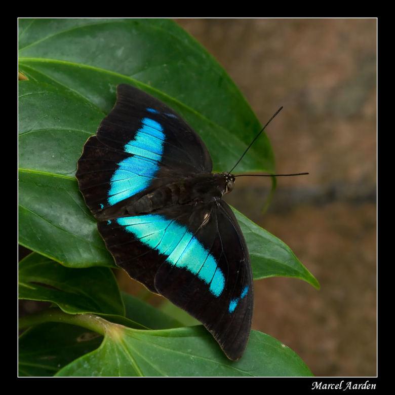 Archaeoprepona demophon - Gisteren de rups, vandaag de vlinder van deze soort