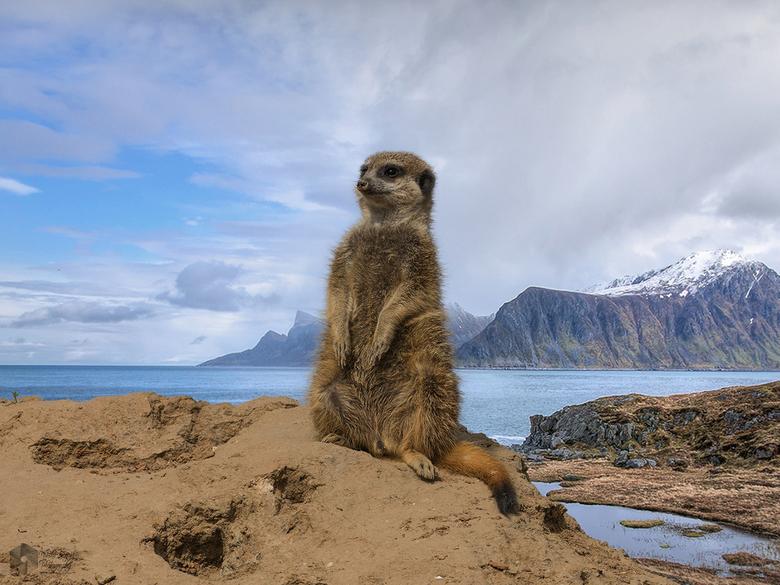 Dit Stokstaartje... - wilde ook wel eens naar een ander land, zat van al dat warme zand koos hij voor de Lofoten in Noorwegen, hij keek zijn ogen uit!