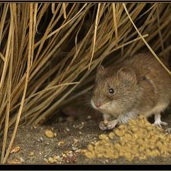 De muis, druk bezig met het opeten van een zaadje.