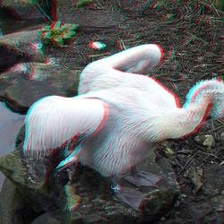 pelican [ Pelecanus Crispus] Blijdorp Zoo 3D